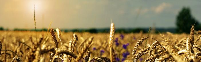 campo-de-trigo